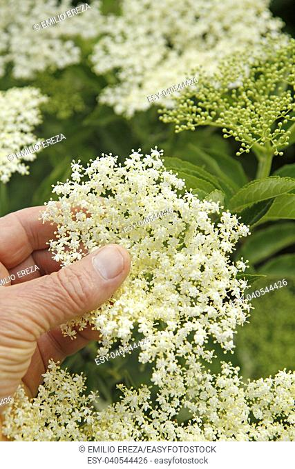 Elderberry. Sambucus nigra
