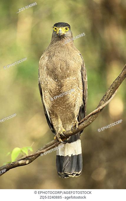 Crested serpent eagle, Spilornis cheela, Tadoba Andhari Tiger Reserve, Maharashtra, India