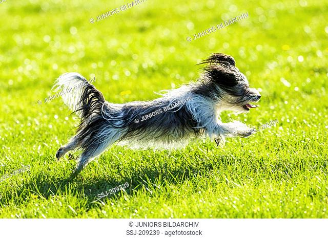 Biewer Terrier. Adult bitch running on a lawn. Germany