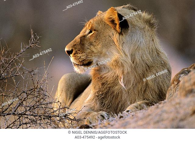 Lion, Panthera leo, Kruger National Park, South Africa