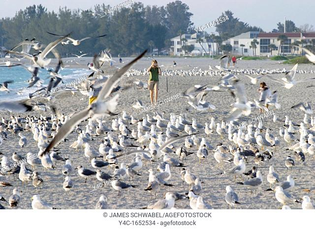 PERSON WALKING AMOUNG BIRDS ON THE GULF COAST BEACH AT VENICE FLORIDA
