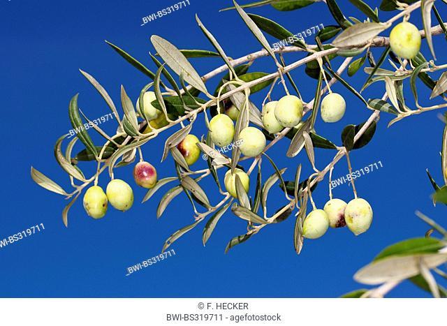 olive tree (Olea europaea ssp. sativa), olives on a tree