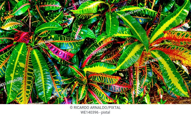 Florida Crotons