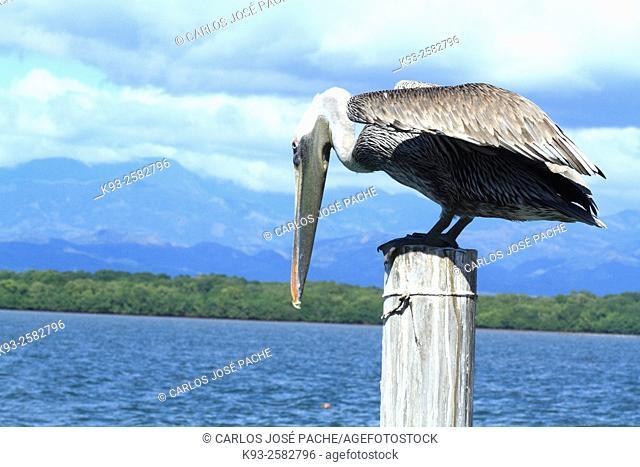 Pelicano pardo Pelecanus occidentalis en el pafícico sur de Costa Rica