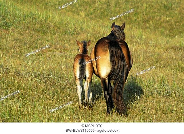 Exmoor pony Equus przewalskii f. caballus, mare with foal, Netherlands, Texel