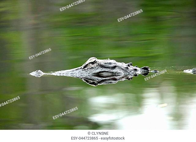 Eyes and snout of an alligator swimming in calm water with reflections of trees at the Okefenokee National Wildlife Refuge national park