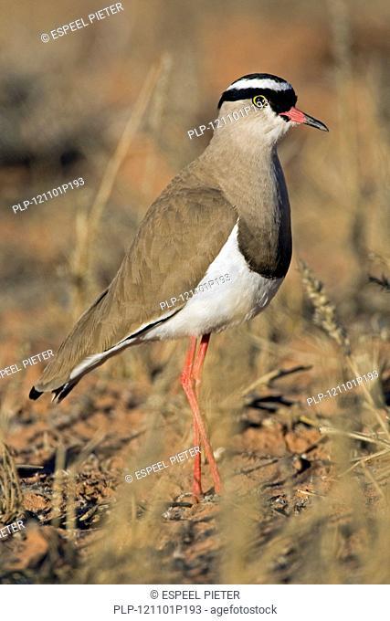 Crowned Lapwing / Crowned Plover Vanellus coronatus in the Kalahari desert, Kgalagadi Transfrontier Park, South Africa