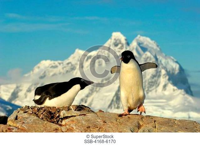 ANTARCTICA, ANTARCTIC PENINSULA, PETERMANN ISLAND, ADELIE PENGUIN COLONY Pygoscelis adeliae, ADELIE PENGUIN ON NEST INCUBATING, PENGUIN WITH ROCK FOR NEST