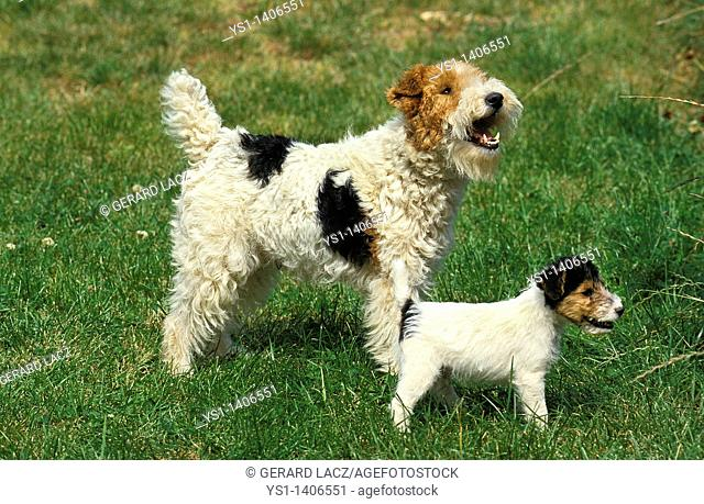 WIRE-HAIRED FOX TERRIER, MOTHER WITH PUPPY ON GRASS