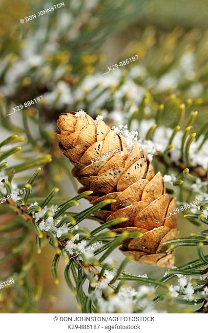 White spruce Picea glauca Light snow on cone in tree
