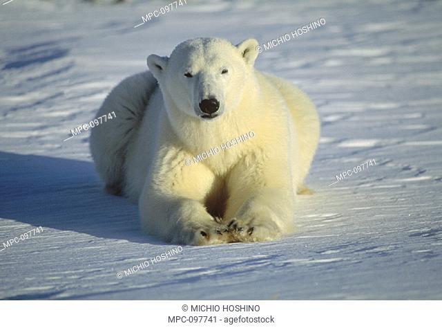 POLAR BEAR, (Ursus maritimus) PORTRAIT, CHURCHILL, MANITOBA, CANADA