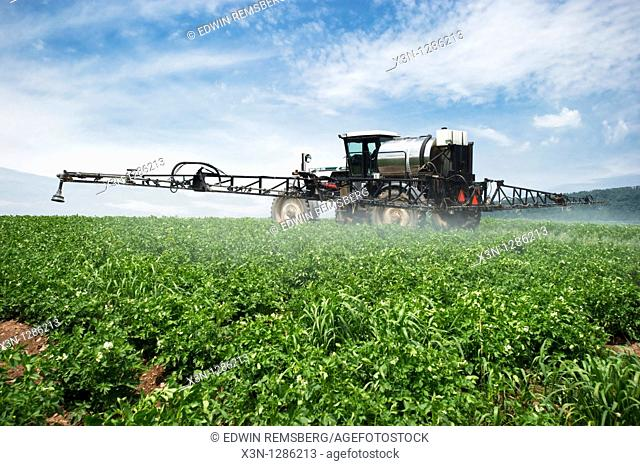 Field of potatoes being sprayed