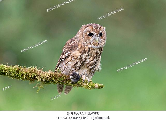 Tawny Owl (Strix aluco) adult, with Common Shrew (Sorex araneus) prey in talons, perched on mossy branch, September (captive)