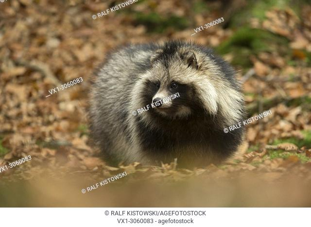 Raccoon dog ( Nyctereutes procyonoides ), adult, close up, walks through dry leaves, frontal side view, invasive species, Europe