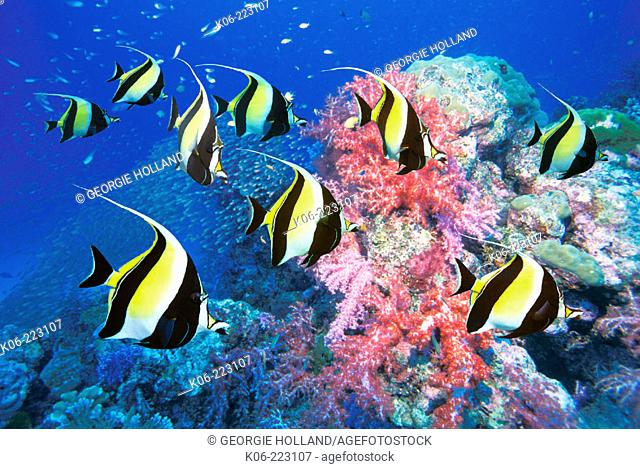 Moorish idols with coral reef. Similan Island nr. 5, Andaman Sea, Thailand