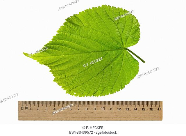 large-leaved lime, lime tree (Tilia platyphyllos), lime leaf, lower side, cutout, ruler