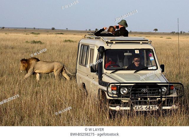 lion Panthera leo, male disinterestedly passing a safari car standing in the open savannah, Kenya, Masai Mara National Park