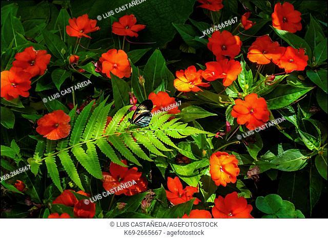 Garden with Butterfly (Piano Key Butterfly - Heliconius melpomene)