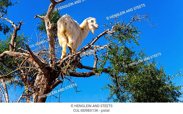 Goat on Argan tree (Argania spinosa), Marrakech, Morocco