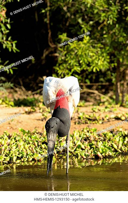 Brazil, Mato Grosso, Pantanal area, listed as World Heritage by UNESCO, Jabiru (Jabiru mycteria), fishing