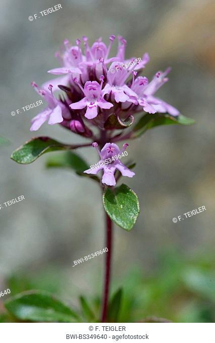 Creeping thyme (Thymus praecox ssp polytrichus), inflorescence, Switzerland