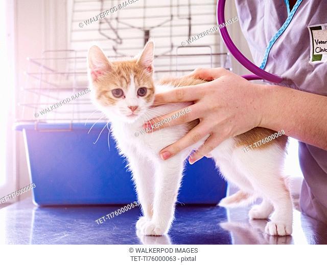 Vet examining kitten