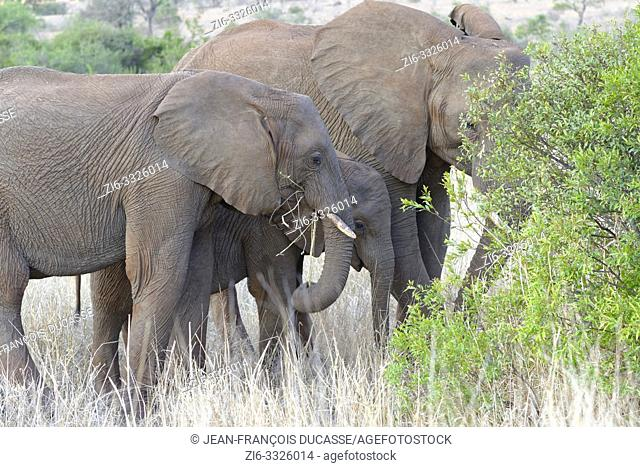 African bush elephants (Loxodonta africana), elephant baby with two young feeding on dry grass and roots, Kruger National Park, South Africa, Africa