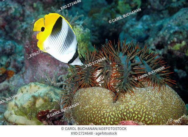 Crown of Thorns Starfish, Acanthaster planci, eating coral and being attacked by a Pacific Double-Saddle Butterflyfish, Chaetodon ulietensis