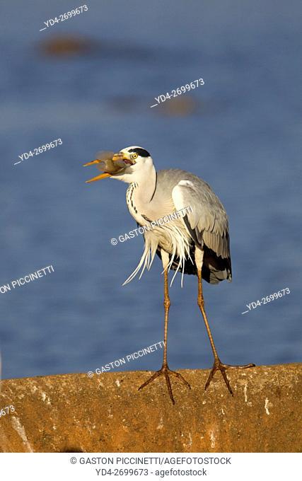 Grey Heron (Ardea cinerea), with its pray, Kruger National Park, South Africa