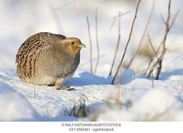 Grey Partridge ( Perdix perdix ), adult, walking, sneaking through fresh fallen snow, on a really nice sunny winter day, wildlife, Europe