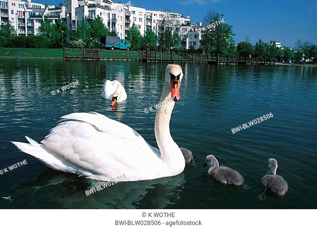 mute swan Cygnus olor, family with two cygnets, swimming on pond in city park