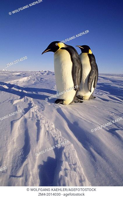 ANTARCTICA, ATKA ICEPORT, EMPEROR PENGUINS ON FAST ICE