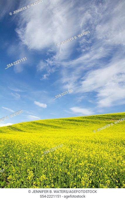 A Canola field in the Palouse in Eastern Washington State, USA. Brassica napus