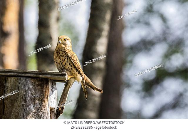 Female Common kestrel, Falco tinnunculus, sitting on top of a bird-house looking in to the camera, Norrbotten, Sweden