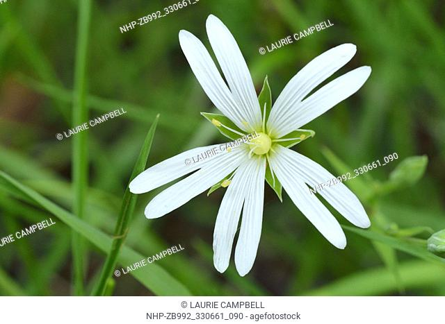 Greater Stitchwort (Stellaria holostea) close-up of single flower, Little Druim Wood, Glen Finglas, Woodland Trust Reserve