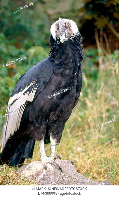 Andean Condors (Vultur gryphus). Hacienda Zuleta. Cayambe, Ecuador
