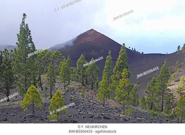 Canary pine (Pinus canariensis), Martin volcano, Canary Islands, La Palma, Ruta De Los Volcanes