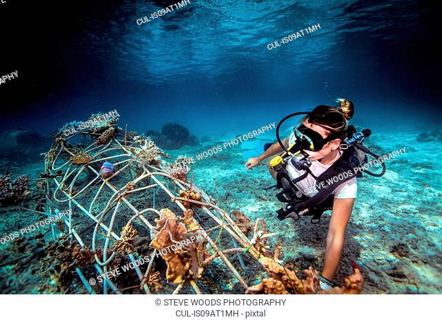Underwater view of diver fixing a seacrete on seabed, (artificial steel reef with electric current), Lombok, Indonesia