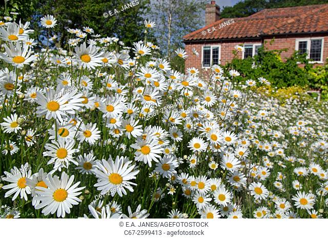 Ox-eye Daises Leucanthemum vulgare in domestic garden