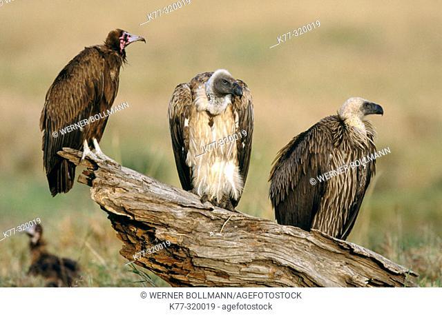 Whitebacked vultures (Gyps africanus) and Hooded vulture (Necrosyrtes monachus). Masai Mara Natural Reserve. Kenya