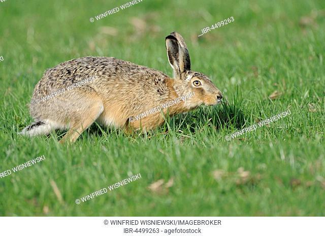 European hare (Lepus europaeus), Texel Island, The Netherlands
