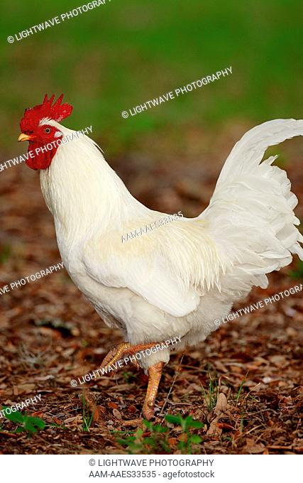 White Leghorn Rooster, Central Florida