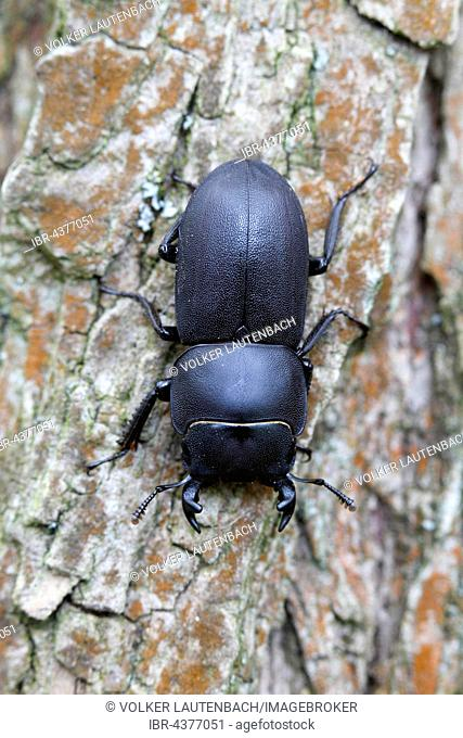 lesser stag beetle (dorcus parallelipipedus), male, nature park Peenetal, Mecklenburg-Western Pomerania, Germany