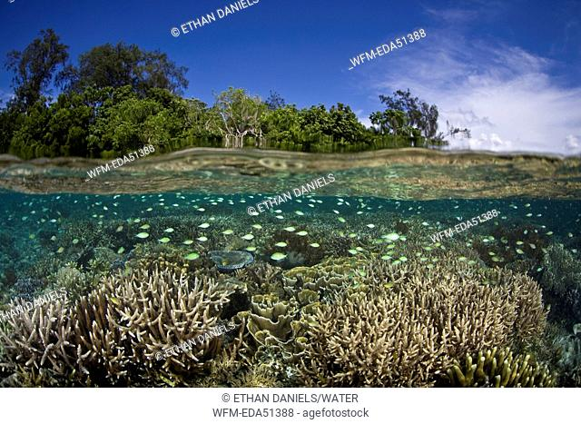 Blue-green Damselfish over shallow Coral Reef, Chromis viridis, Misool, West Papua, Indonesia