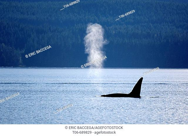 Male killer whale, Orca  (Orcinus orca) surfacing in the Johnstone Strait, Vancouver Island, British Columbia, Canada