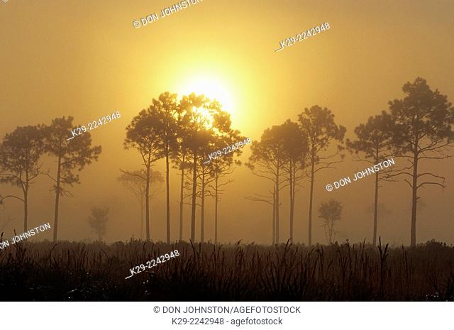 Pine tree silhouettes at sunrise, Myakka River State Park, Florida, USA