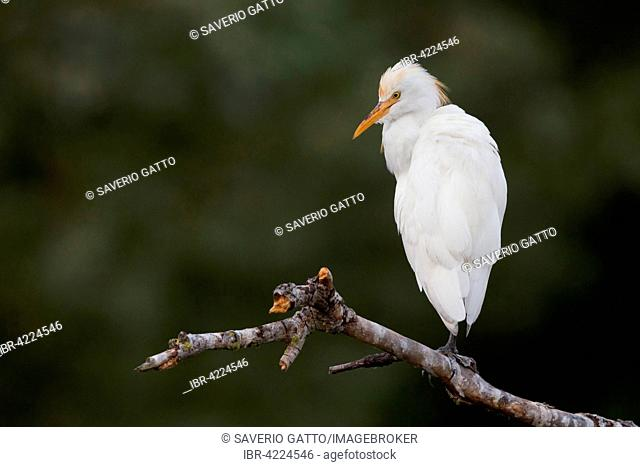 Cattle Egret (Bubulcus ibis), perched on branch, Campania, Italy
