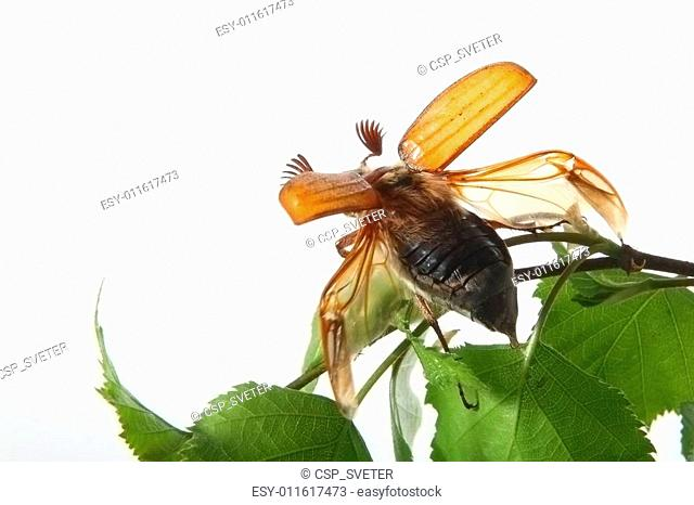 May-bug