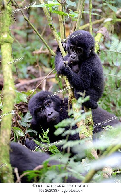 Portrait of female mountain gorilla with baby playing (Gorilla beringei beringei) Virunga National Park, Democratic Republic of Congo, Africa