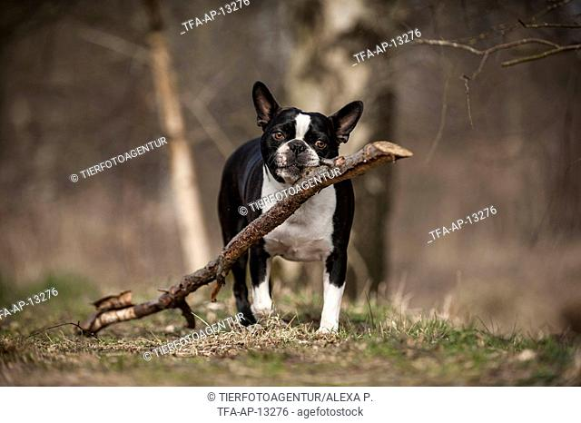 Boston Terrier with stick